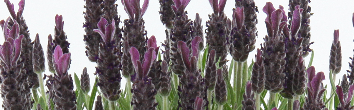 slider_LavendelAngustifolia_anouk_